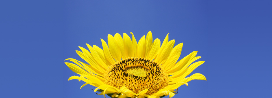 Sunflower-01